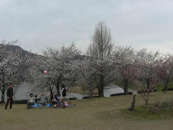 花見で見ていた桜